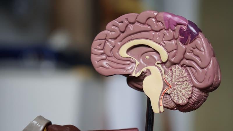 Esta es la zona del cerebro donde se crea el amor