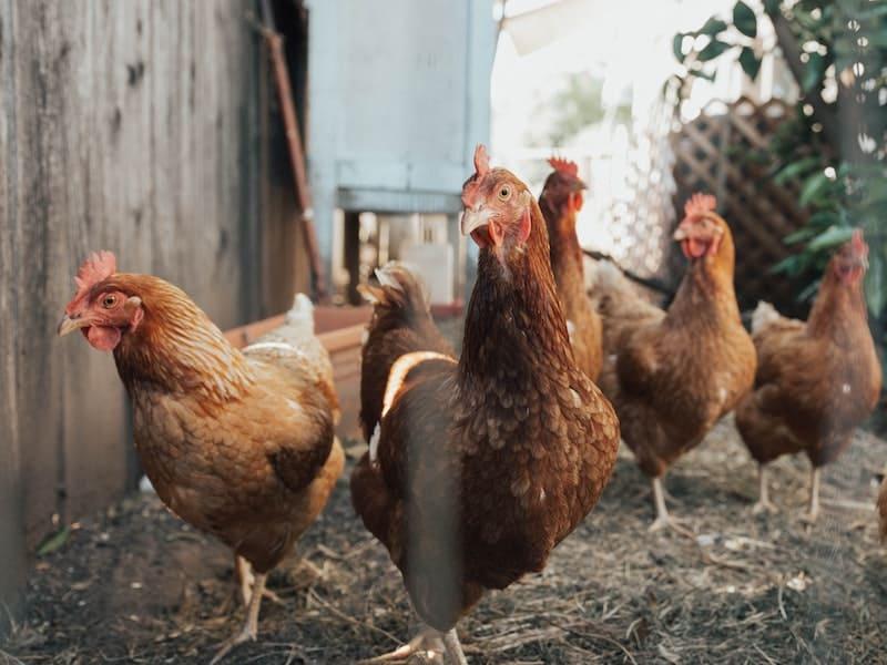 Pollos en una granja